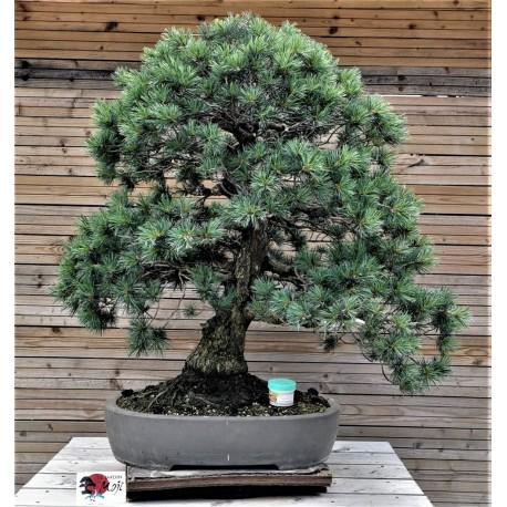 Pin Pentaphylla - Pin blanc du Japon
