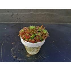 Sedum sempervivum - composition en pot