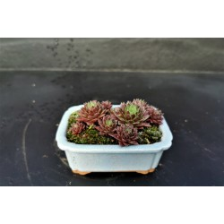 Sedum sempervivum - composition en pot