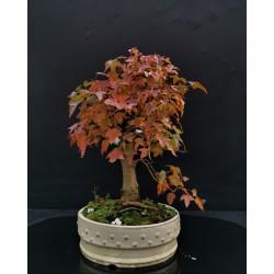 Acer Buergerianum - érable de buerger