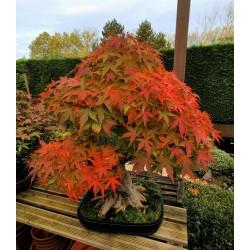Acer palmatum - Erable du Japon
