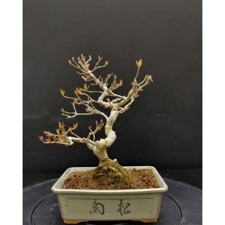 Bonsai Ilex sieboldii - houx du Japon