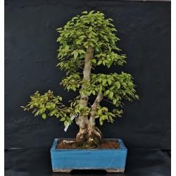 Charme de Corée - carpinus coreana