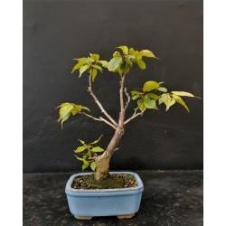 Prunus du Japon à fleurs blanches
