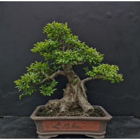 Orme - zelkova parvifolia