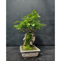 Bonsai Callicarpa japonica