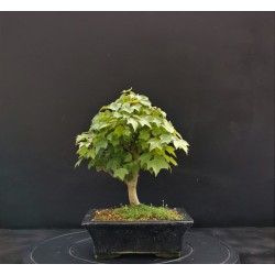Acer Buergerianum shohin - érable de buerger