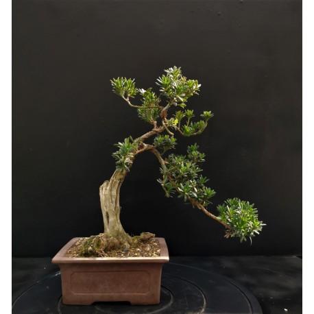"Podocarpus  ""pin des bouddhistes"""
