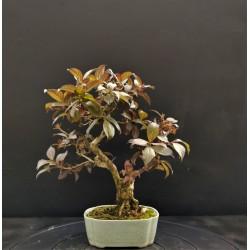 Viburnum japonica