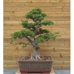 Ulmus parvifolia - Orme de Chine - grande taille