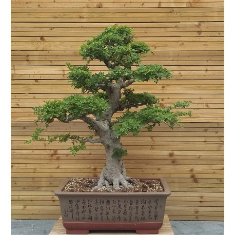 ulmus parvifolia orme de chine bonsai d 39 ext rieur a. Black Bedroom Furniture Sets. Home Design Ideas