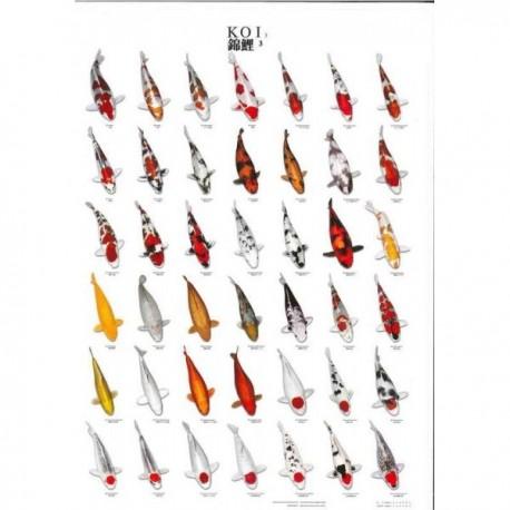 Koi Poster plastifié N°3 - 70x100cm