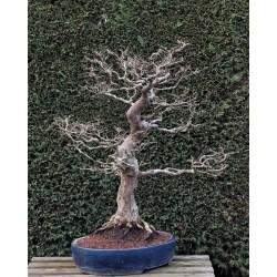 Charme - carpinus laxiflora - Japon