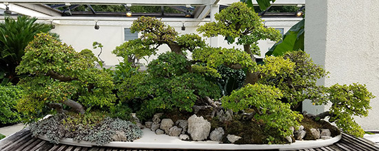 Arbre Bonsai